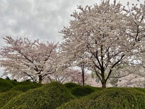 Photo of a Japanese cherry trees in bloom on a custom private tour